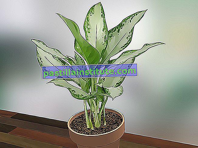 Lista över växter i familjen Asparagaceae